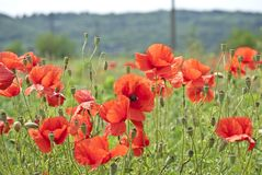 Lots of poppies Stock Photos