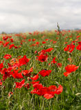 Lots of poppies Stock Images