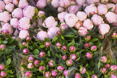Lots of pretty and romantic violet and pink peonies in floral sh Royalty Free Stock Images