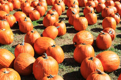 Lots of pumpkins Royalty Free Stock Image