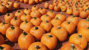Lots of pumpkins at the farm stock footage
