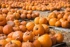 Lots of Pumpkins Stock Image