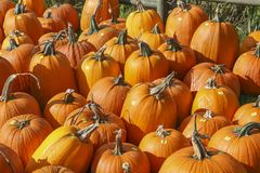 Lots of Pumpkins at the Pumpkin Patch Stock Photo