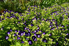 Lots of Purple Violas. At spring garden nursery Stock Photos