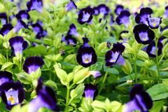 Lots of Purple Violas. At spring garden nursery Stock Photo
