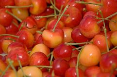 Lots of Rainier Cherries. This shot shows many bright yellow and red fresh and juicy Rainier cherries Royalty Free Stock Photo