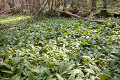 Lots of Ramsons Stock Photography