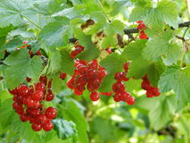 Lots of red currant berries Royalty Free Stock Photos