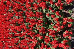Lots of red flowers of Salvia splendens. Lots of scarlet red flowers of Salvia splendens royalty free stock photography