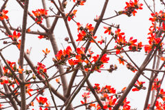 Lots of red kapok flowers. With beautiful curving twigs and branches Royalty Free Stock Photography