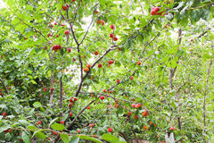 Lots of red plums. Many red plums on the tree Stock Photo