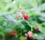 Lots of red ripe raspberries on a bush Royalty Free Stock Photo