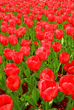 Lots of red tulips Royalty Free Stock Photos