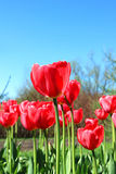 Lots of red tulips in the early spring Royalty Free Stock Photos