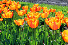 Lots of red and yellow tulips Stock Photo