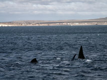 Lots Of Right Whale Fins Royalty Free Stock Photos