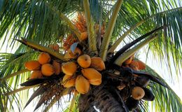 Lots of ripe coconuts on coconut palm . Stock Photos