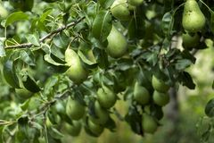 Lots of ripe green pears growing on a tree, useful autumn fruits. Drops of rain on the pears royalty free stock photo