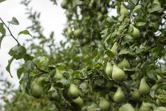 Lots of ripe green pears growing on a tree, useful autumn tasty fruits Stock Photos