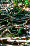 Lots of roots and vines. Very thick roots and vines in the meadow Royalty Free Stock Images