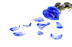 Lots of rose leafs with blue rose isolated Royalty Free Stock Photo