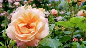 120 fps super slow motion of a pink and orange rose in wind stock video footage