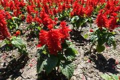 Lots of red flowers of Salvia splendens. Lots of scarlet red flowers of Salvia splendens stock photo