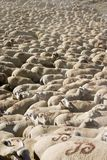 Lots Schafe Lizenzfreie Stockfotos