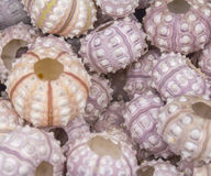 Lots of sea urchins Stock Photography