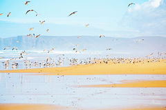 Lots of seagulls at the atlantic ocean Royalty Free Stock Images