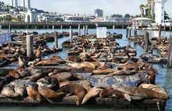 Lots of seals. Laying and resting royalty free stock photo