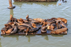 Lots of seals laying and resting. In ocean stock images