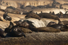 Lots of seals Stock Photography