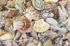 Lots of seashells. Full frame high angle shot showing lots of seashells Royalty Free Stock Photo