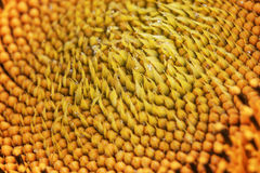 Lots of seeds in a sunflower head Royalty Free Stock Photo