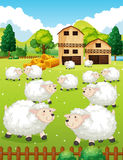 Lots of sheeps in the farm Stock Images