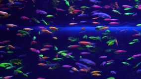 Lots of small bright neon fish in the aquarium. Lots of small bright neon fish swim in the aquarium stock footage