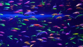 Lots of small bright neon fish in the aquarium. Lots of small bright neon fish swim in the aquarium stock video footage