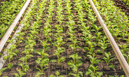 Lots of small chrysanthemum cuttings between gauze. Lots of small chrysanthemum cuttings in the greenhouse of a specialized Dutch chrysanthemum cut flower Royalty Free Stock Image