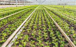 Lots of small chrysanthemum cuttings between gauze. Lots of small chrysanthemum cuttings in the greenhouse of a specialized Dutch chrysanthemum cut flower Stock Image