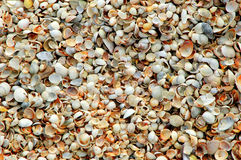 Lots of small seashells on the sea shore. Close-up texture for background seashells on the shore of the morning Stock Images