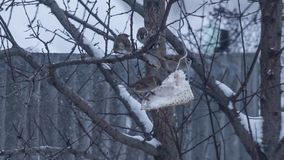 Lots of sparrows on tree eating stock video