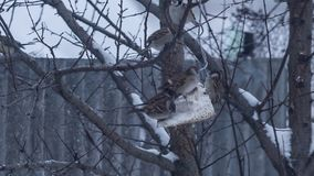 Lots of sparrows on tree eating. Food in snowing weather stock video