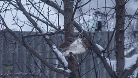 Lots of sparrows on tree eating. Food in snowing weather stock footage