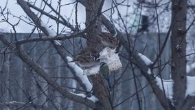 Lots of sparrows on tree eating. Slow motion. Lots of sparrows on tree eating food in snowing weather in slow motion stock video