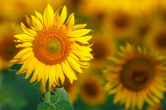 Lots of sun flowers on a sunny day Stock Images