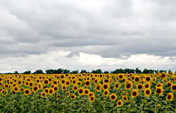 Lots of sunflowers on the field under stormy sky Stock Photos