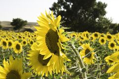 Lots of sunflowers on a wide field Stock Photo