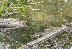 Lots of tadpoles Stock Photography