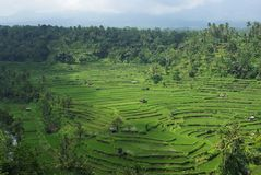Lots of terrace ricefields and palms trees. It's a typical landscape of Bali island : lots of terrace ricefields and palms trees royalty free stock photo